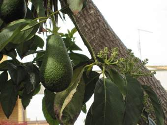 Pianta di avocado, il fulcro di un giro d'affari miliardario - Immagine rilasciata sotto licenza Creative Commons Attribution-Share Alike 3.0 Unported, fonte Wikimedia Commons, utente Petar43